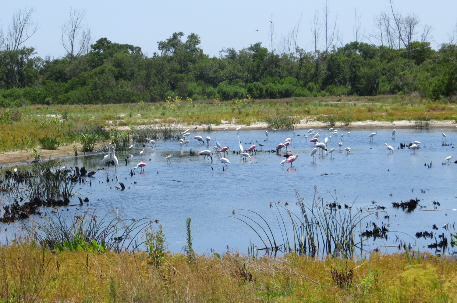 The Perico Preserve now hosts an assortment of birds. The area is on several migratory routes, making it even more important. A rookery in the center of a pond and bird-viewing platforms allow the public to enjoy seeing the birds without disturbing them.