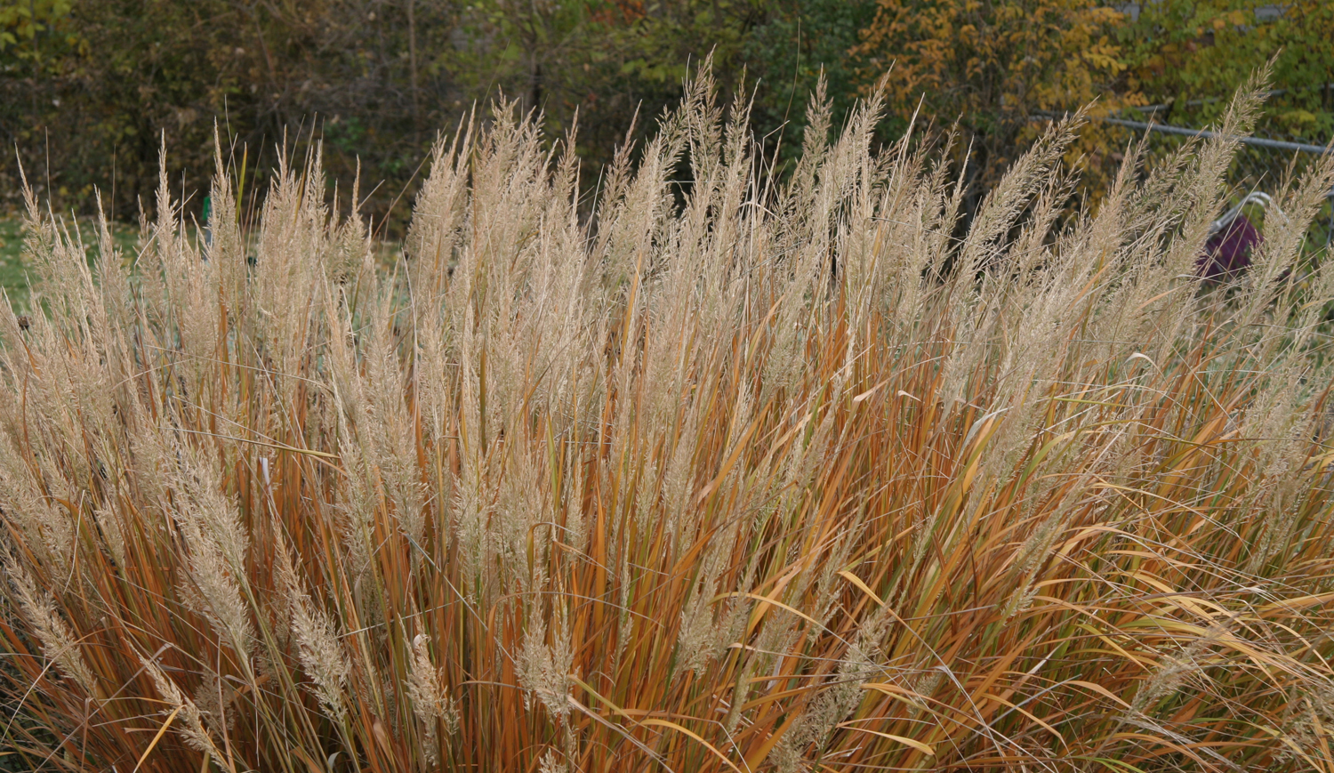 Korean Feather Reed Grass has beautiful fall foliage that persists into winter.