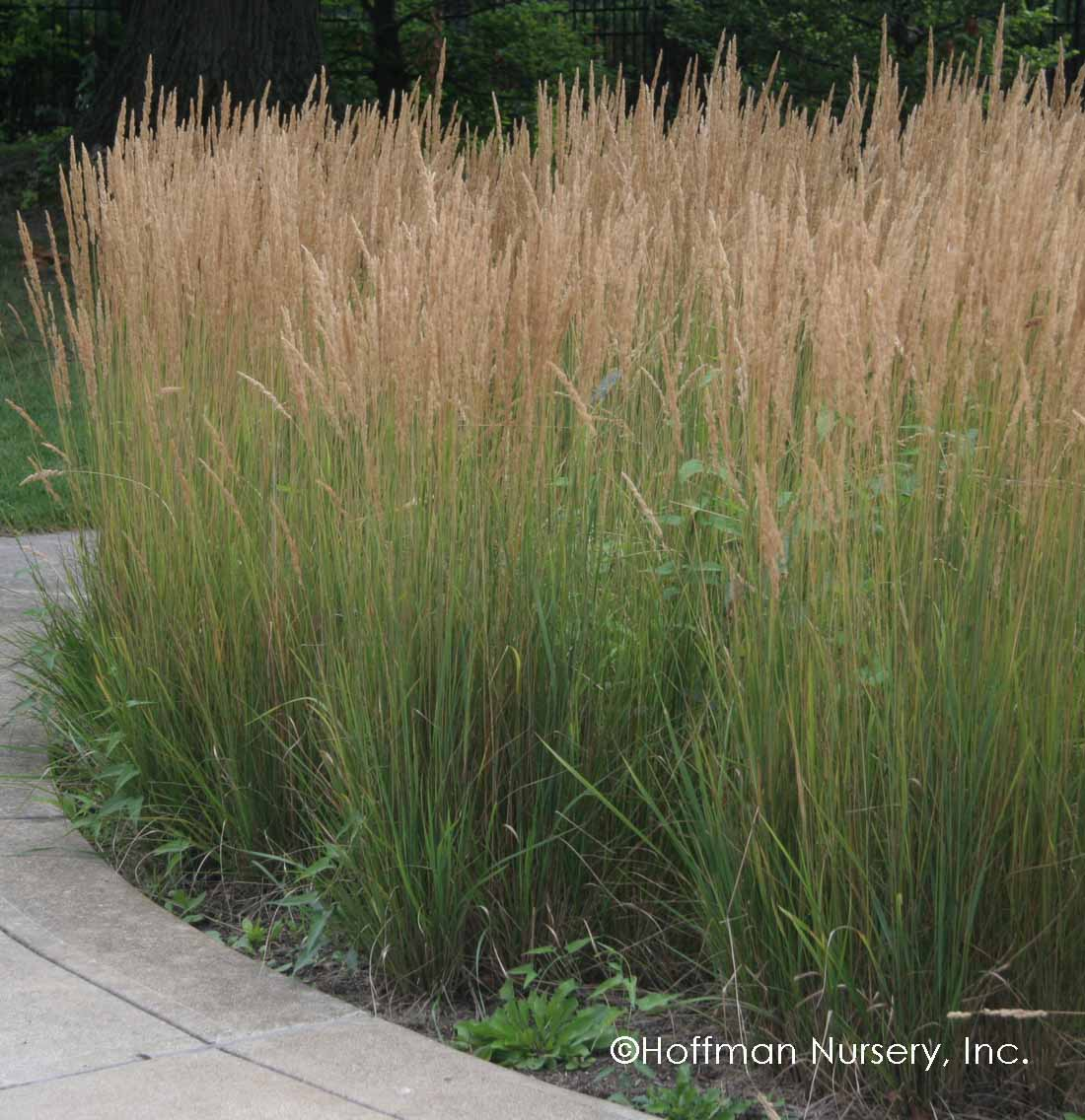 calamagrostis related keywords calamagrostis long tail. Black Bedroom Furniture Sets. Home Design Ideas