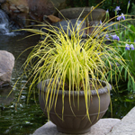 Sedges for Containers