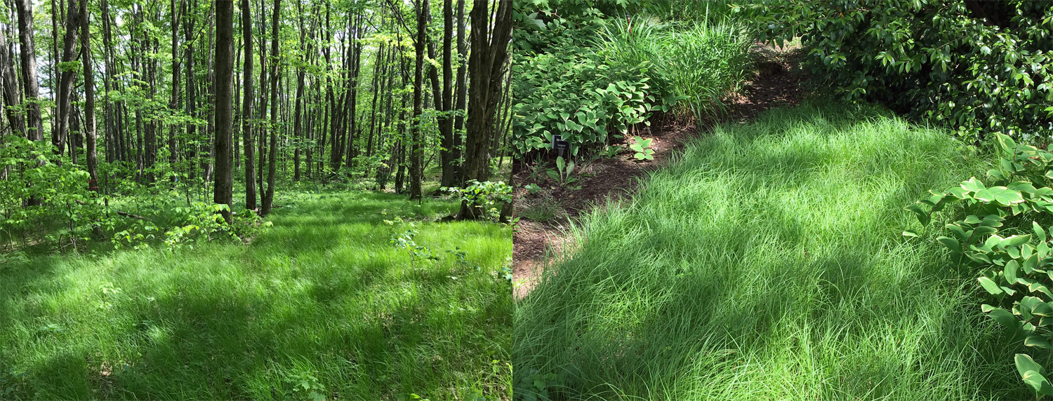 Pennsylvania Sedge in the North Carolina mountains (L) and in Hoffman Nursery's dry shade garden (R).