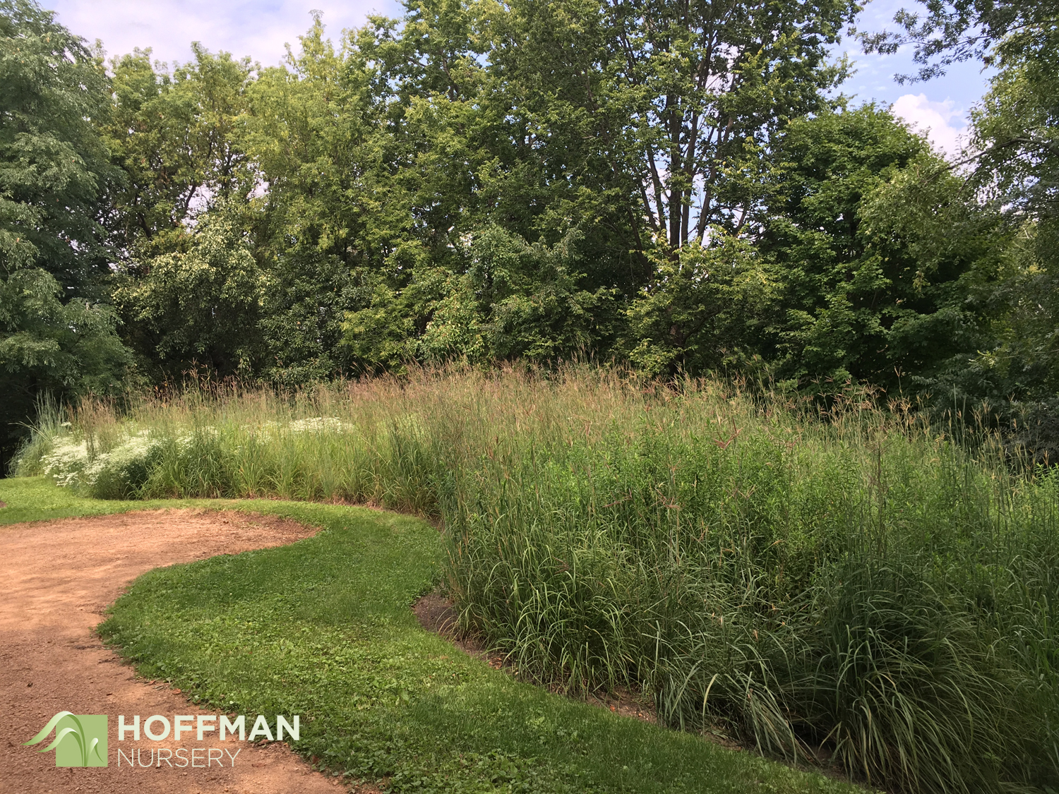 This lush planting of Big Bluestem and other native perennials is beautiful and functional. It harbors and treats the drain field for the property's septic system.