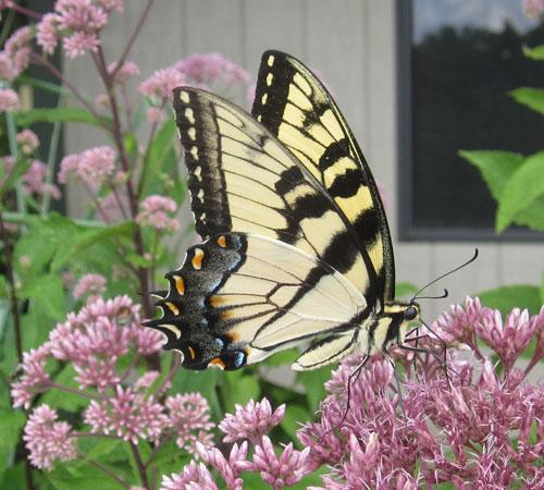Swallowtail Erfly On Joe Pye Weed