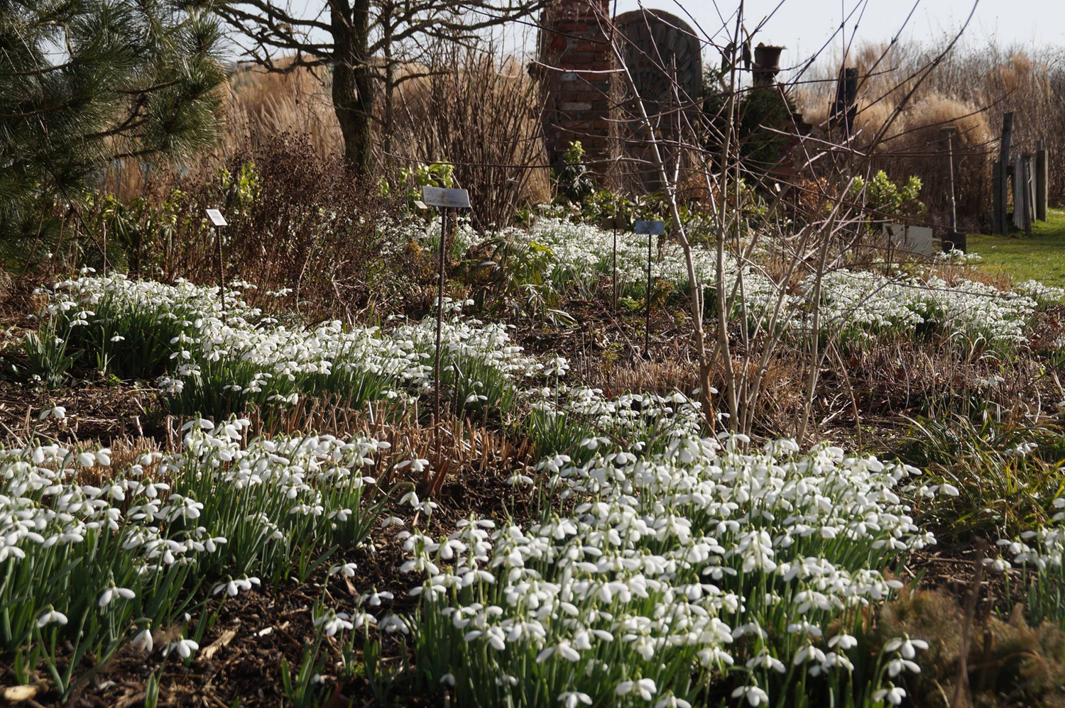 Galanthus in February through March.