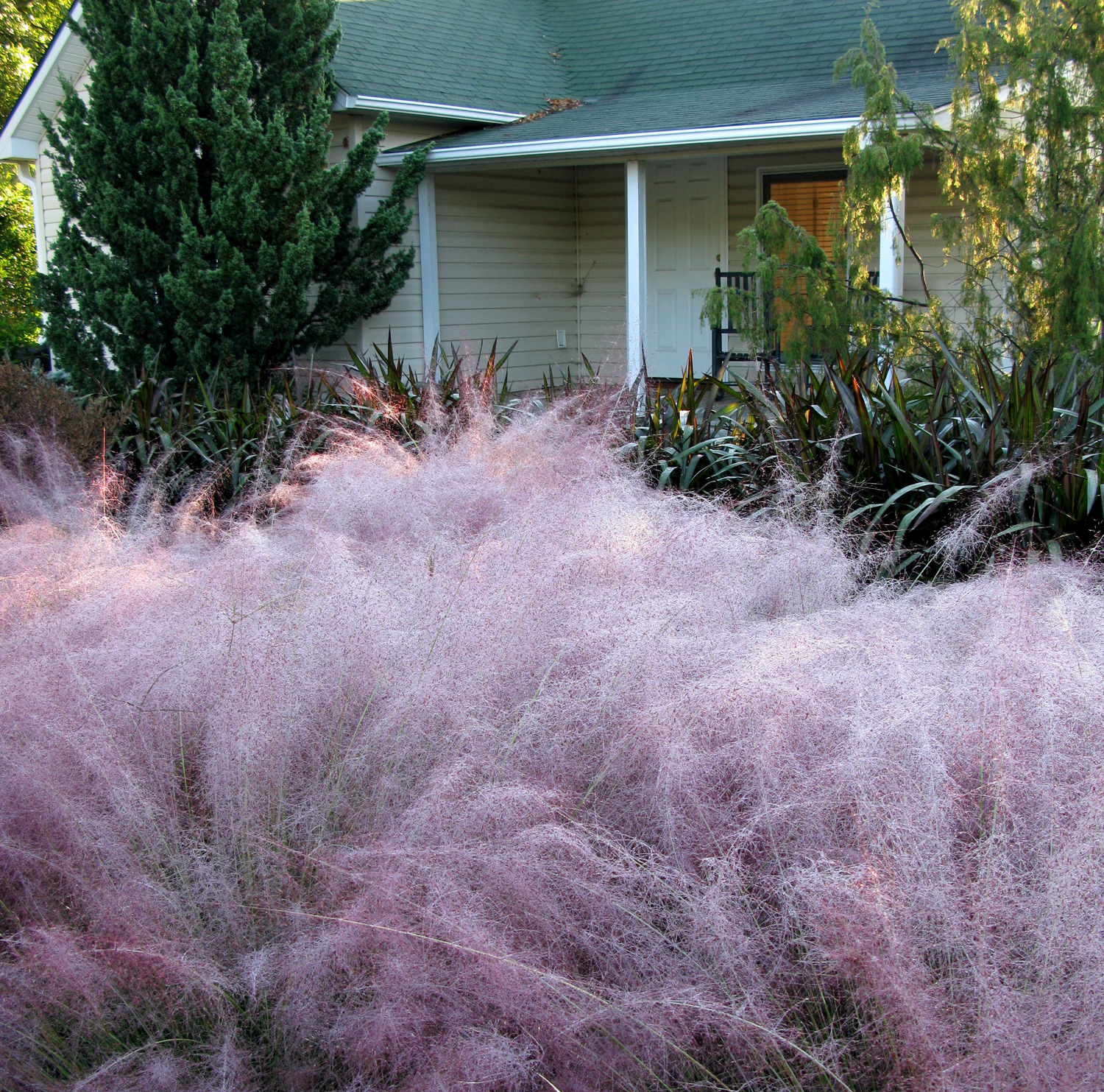 Pink Muhly Grass (<i>Muhlenbergia capillaris</i>) and a few other warm-season grasses do best if allowed to establish before cold and wet conditions prevail in Fall.