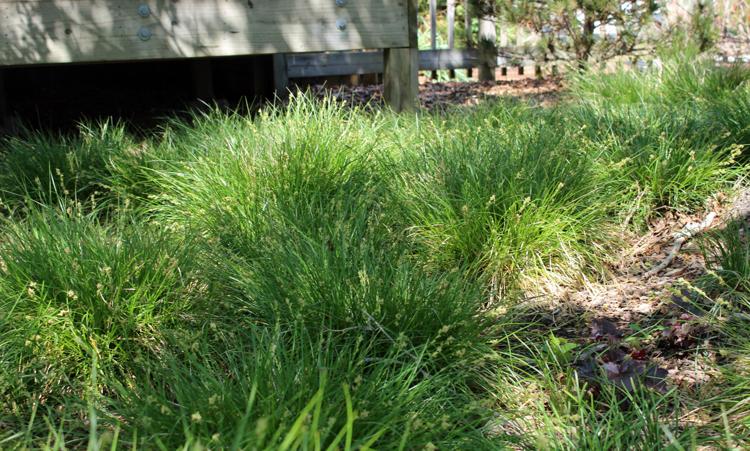 By early April, Carex divulsa is lush and green with emerging inflorescences.