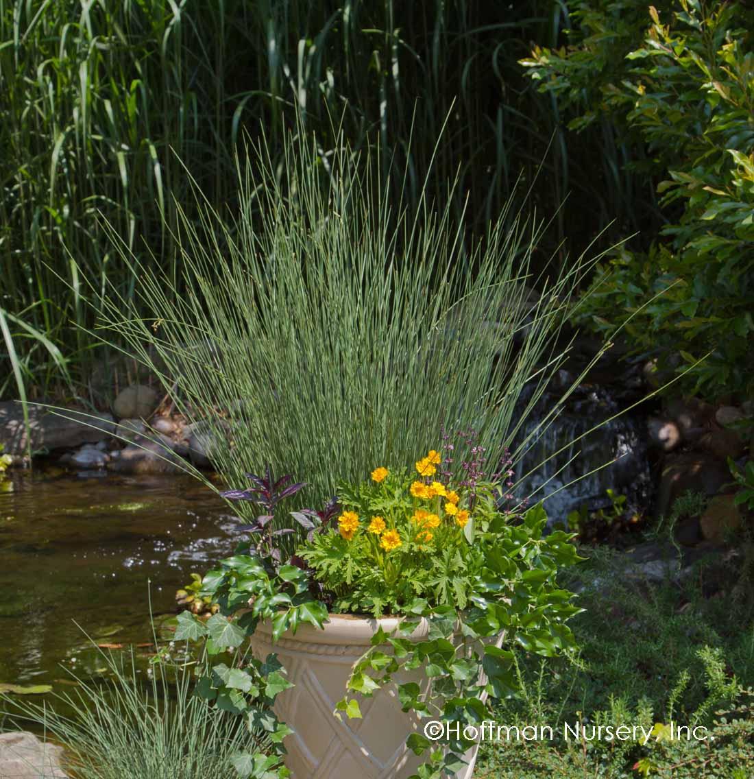 Juncus inflexus Fantastic Foliage Blue Arrows 38 Rush grasses Zone 5-9