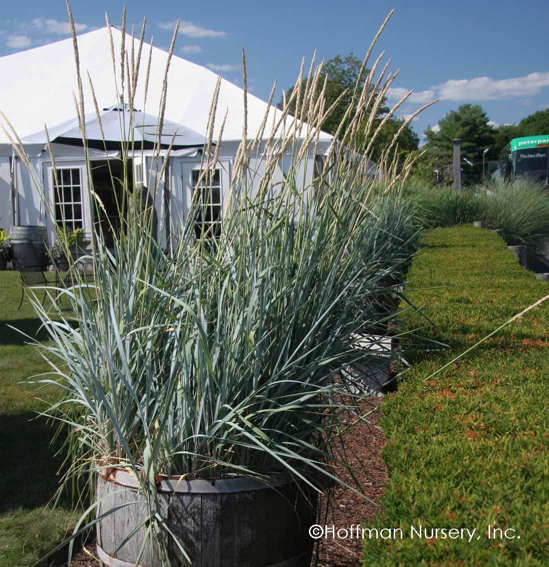 Blue dune lyme grass -  Hoffman Nursery Plants