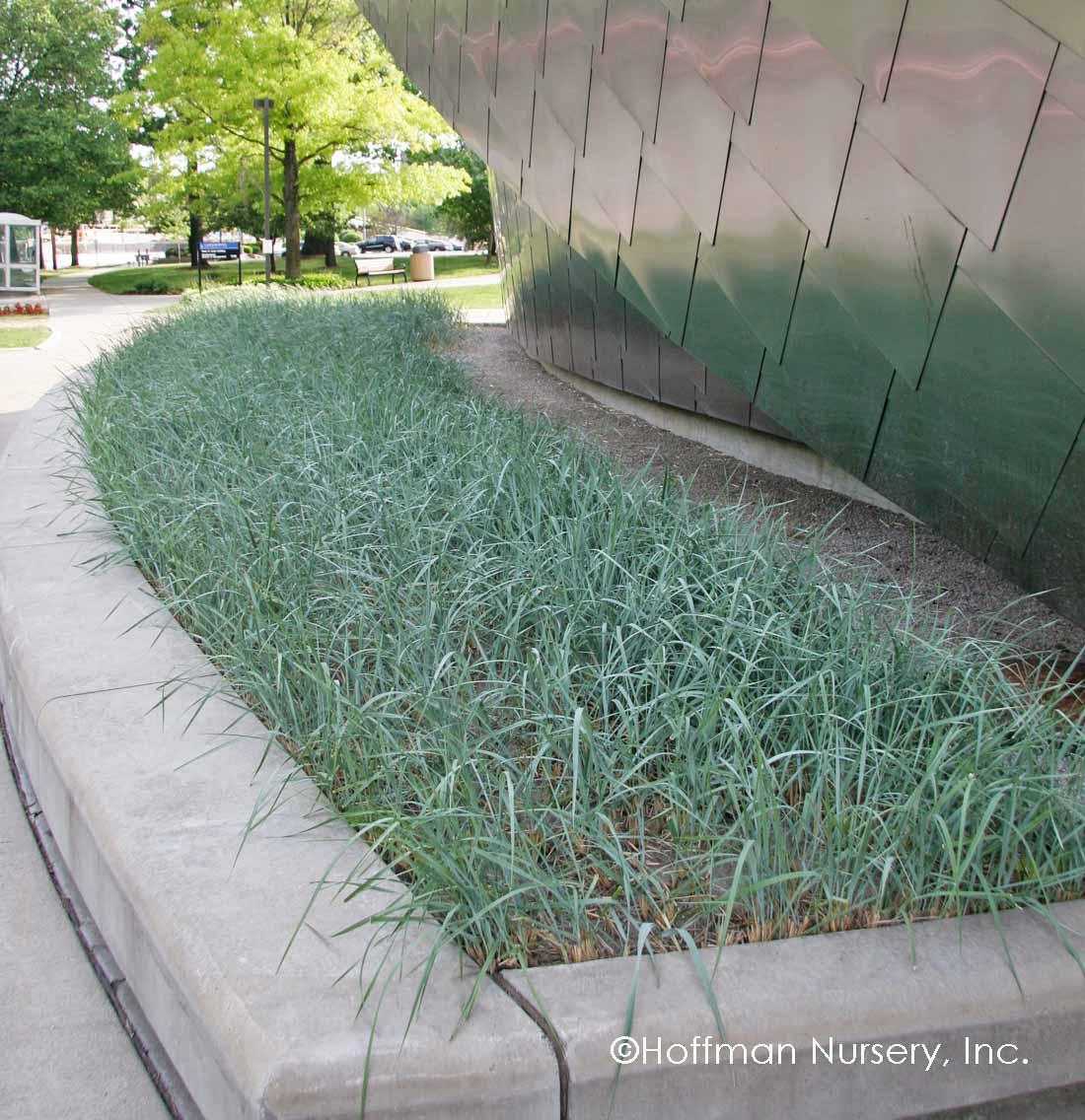Blue dune lyme grass -  Hoffman Nursery Plants Hoffman Nursery Plants