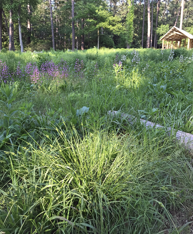 Carex Sedges For Meadow And Prairie Plantings