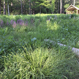 Sedges for Meadow and Prairie Plantings