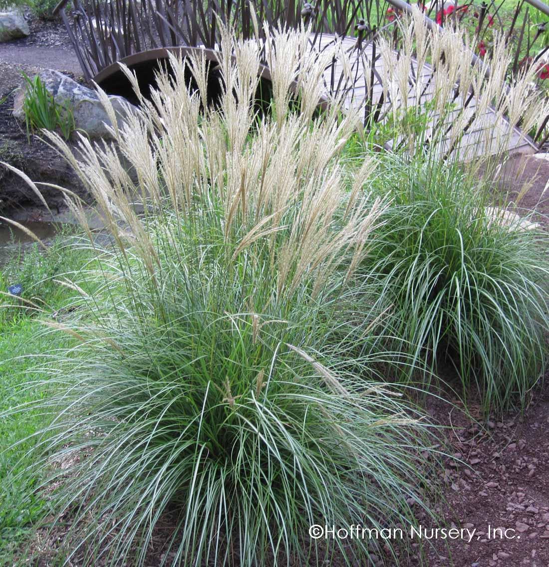 Blue dune lyme grass - Miscanthus Sinensis Adagio Dwarf Maiden Grass
