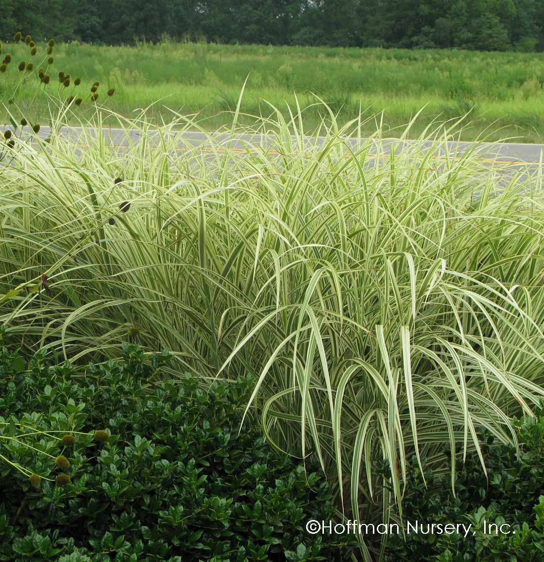 miscanthus sinensis variegatus hoffman nursery. Black Bedroom Furniture Sets. Home Design Ideas