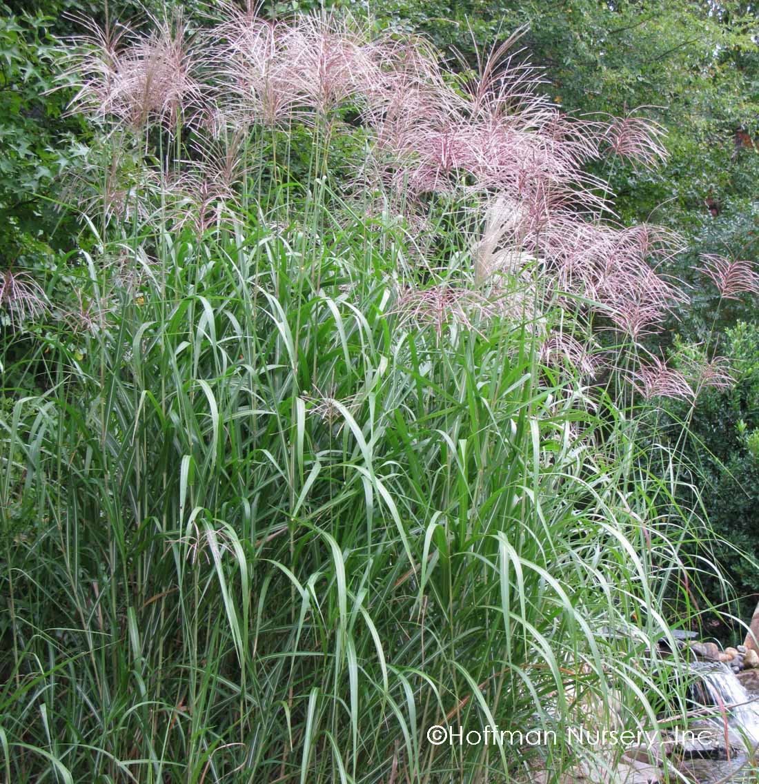 Plants hoffman nursery for Giant ornamental grass