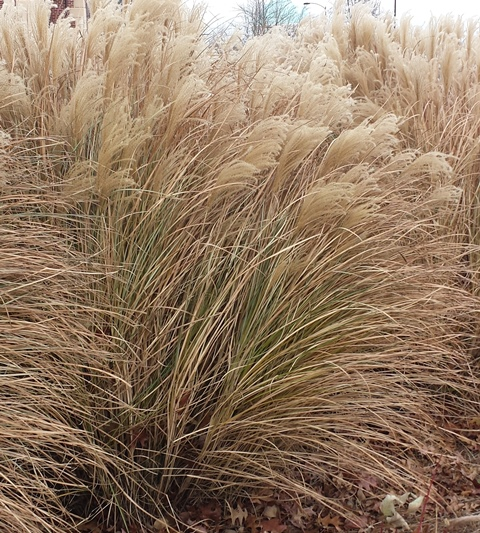 Good-Natured Grasses for the Winter Garden