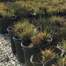 Five Tips For Overwintering Grasses