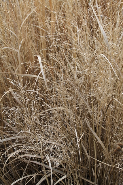 The intricate panicles of Switchgrass.
