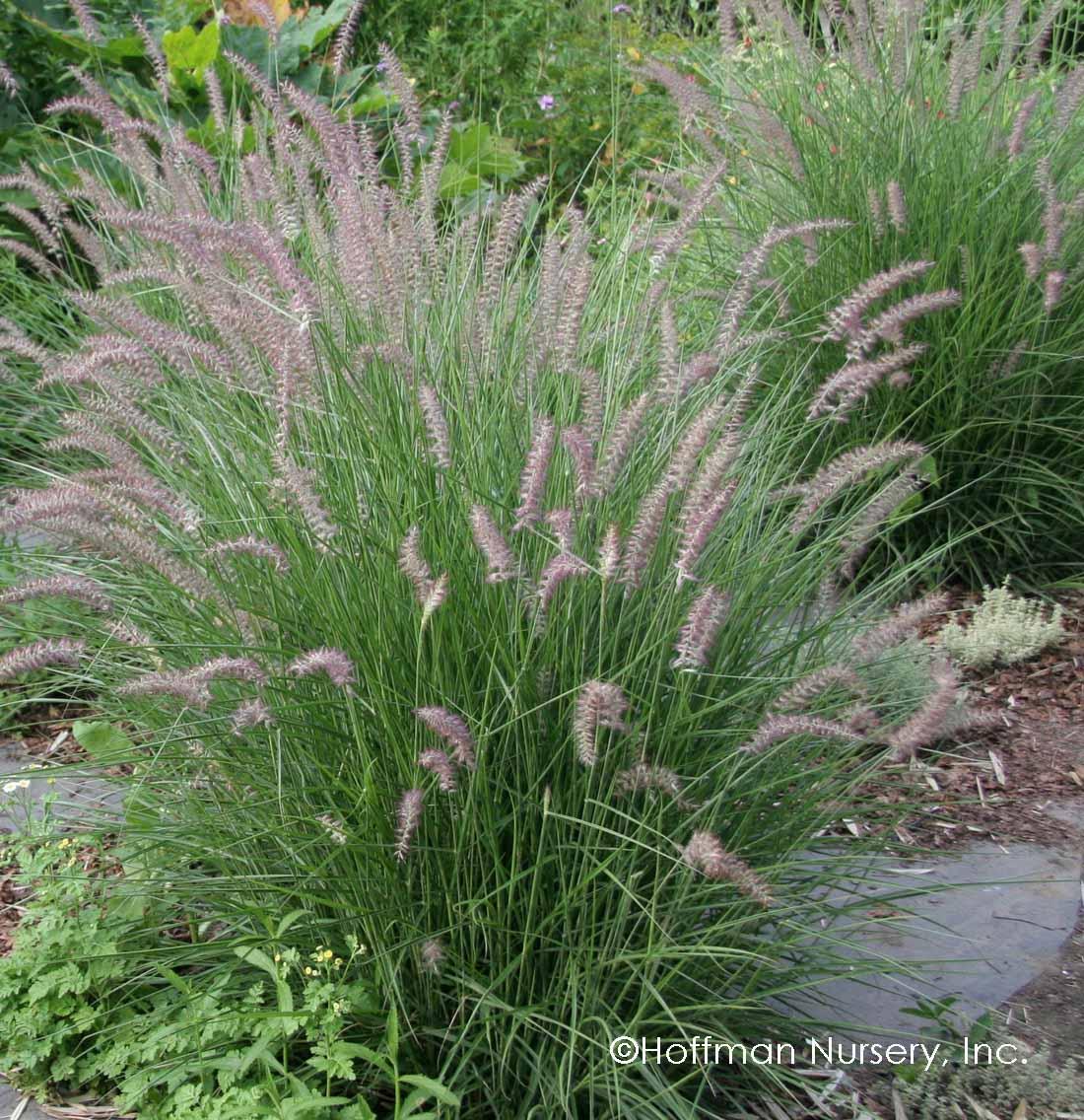 Pennisetum orientale karley rose pp12909 hoffman nursery for Oriental grass