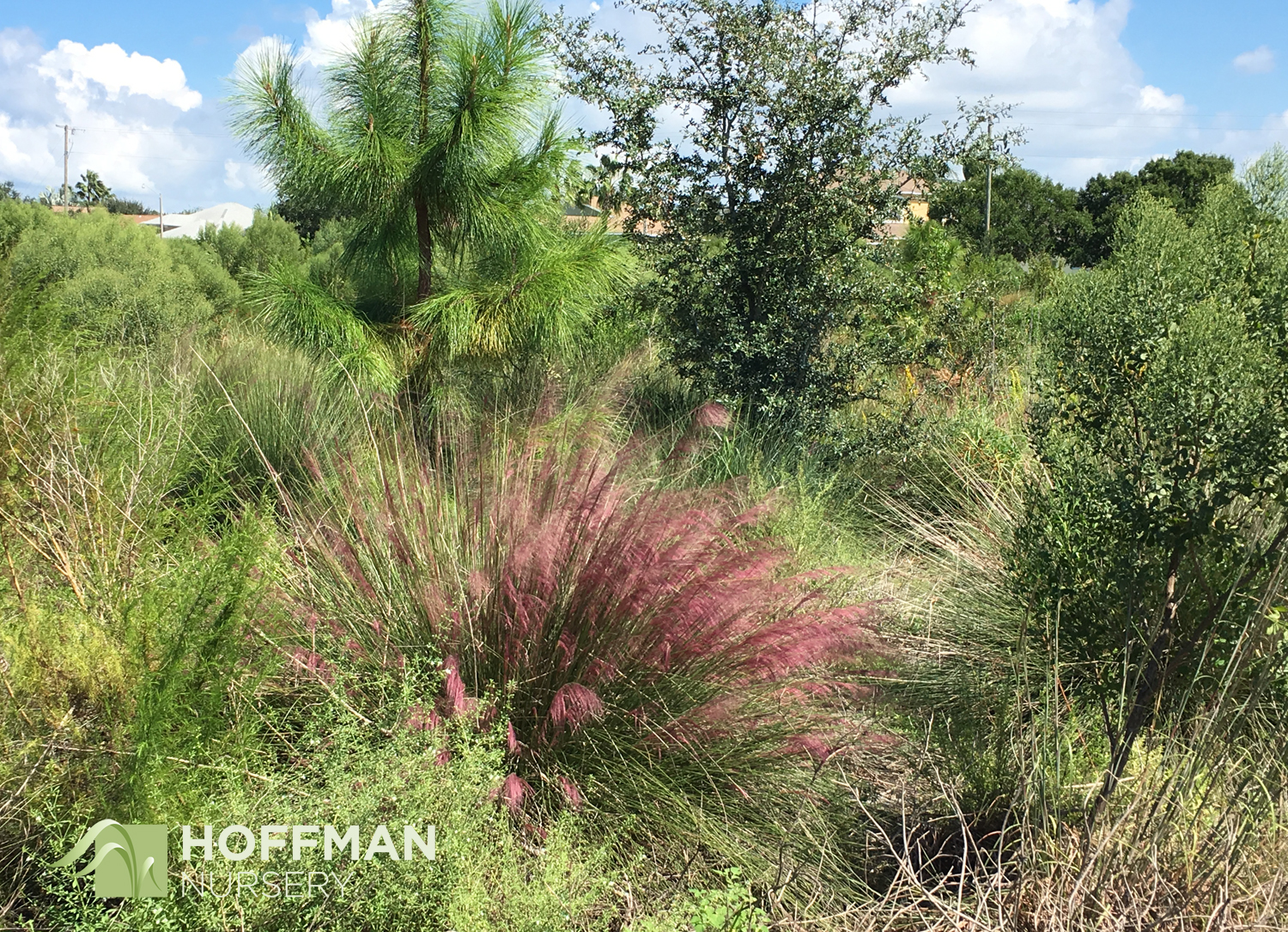 Pink Muhly (Muhlenbergia capillaris) was starting its fall show when we visited. The plumes were a rich, deep reddish-pink. Also called Gulf Muhly, this native grass was thriving on the site.