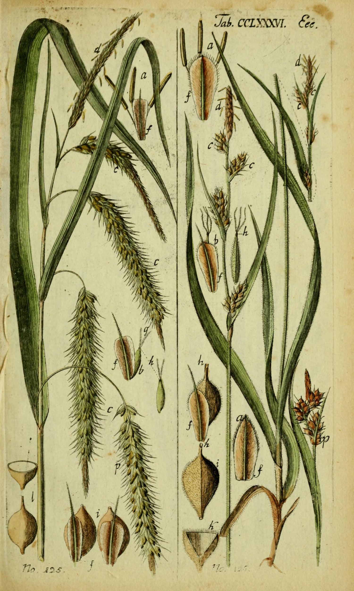 Illustration supplied by New York Botanical Garden via plantillustrations.org (Illustration ID#293669)