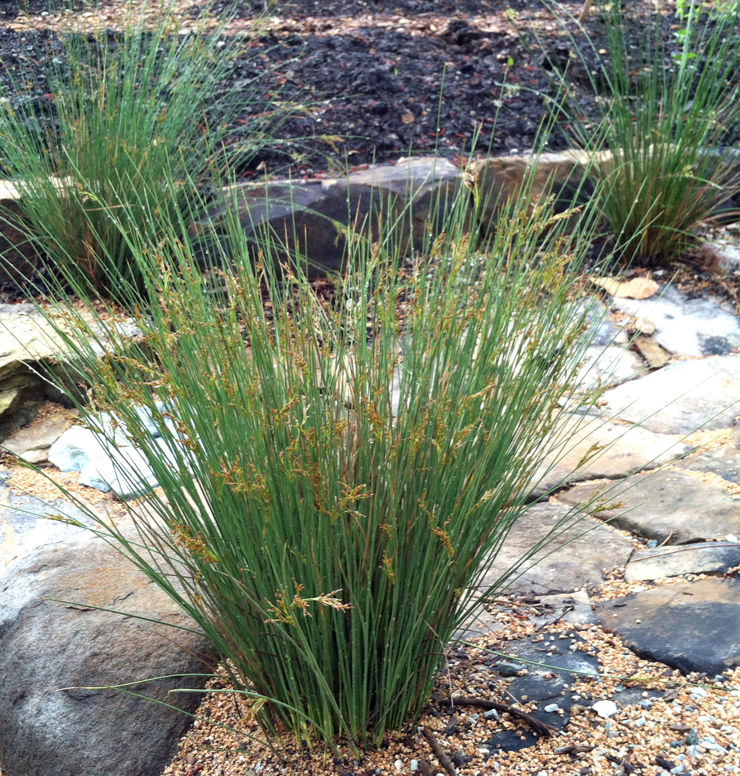 Picture of Live California Gray Rush aka Juncus patens Grasses Plant Fit 1 Gallon Pot