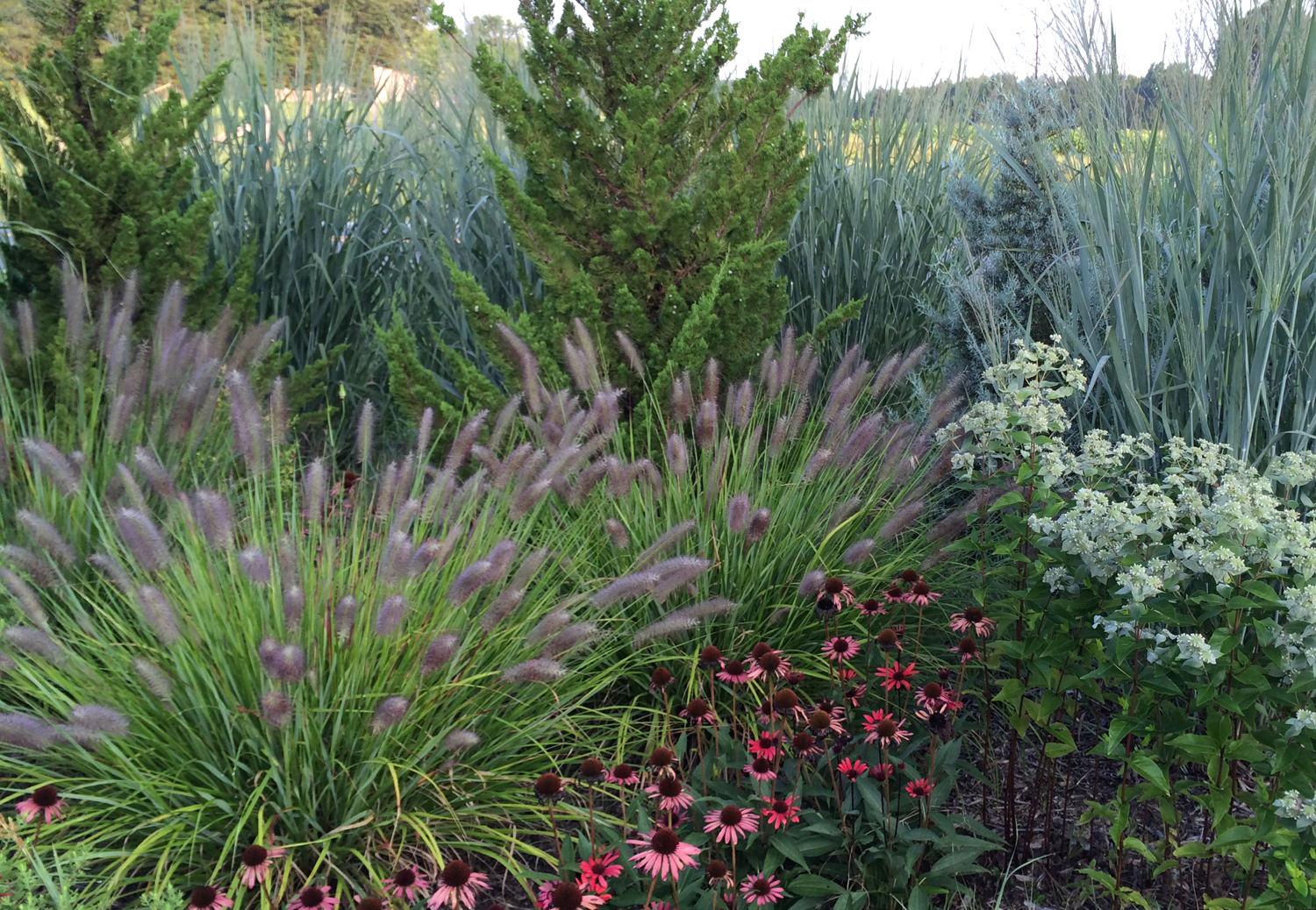 <i>Pennisetum alopecuroides</i> 'Red Head' mingles with other perennials in this mixed planting.