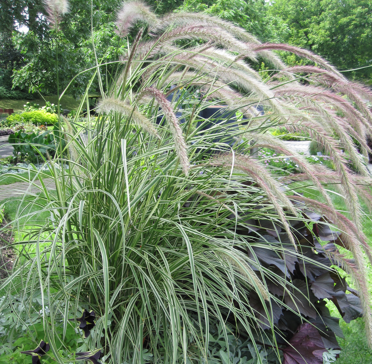 <i>Pennisetum</i> 'Sky Rocket', a tender selection that brightens up color beds and containers.