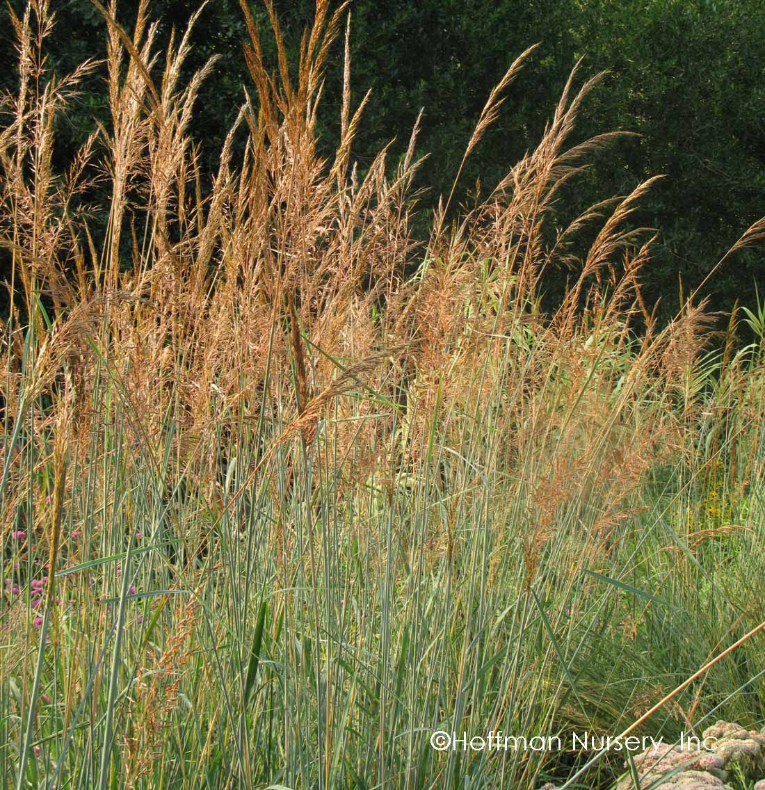 Blue Indian Grass