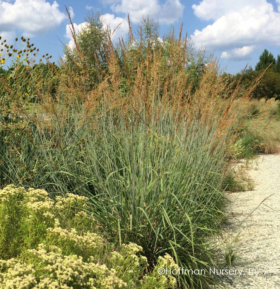 Blue Indian Grass - DISCONTINUED