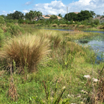 Native Grasses in Florida Preserve