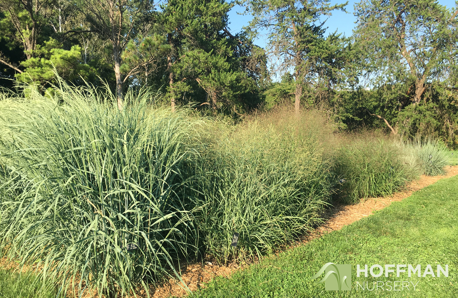 Several Switchgrass cultivars stand in a row in the area used for national grass trials.