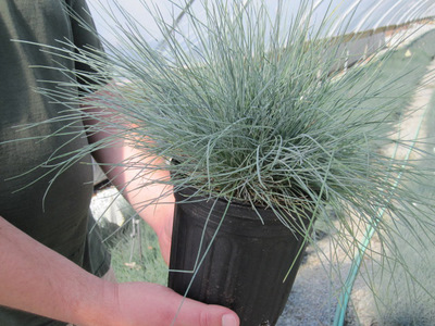 Blue Sheep's Fescue gallon