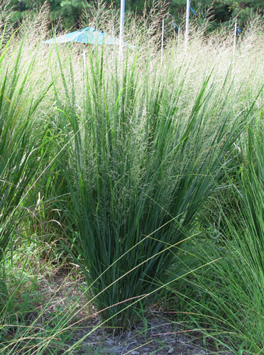 PanVNW green vertical <i>Panicum virgatum</i> Northwind 2014 Plant of the Year&trade;