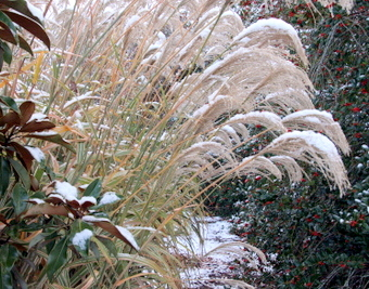 Miscanthus winter scene