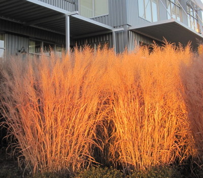 Panicum in winter