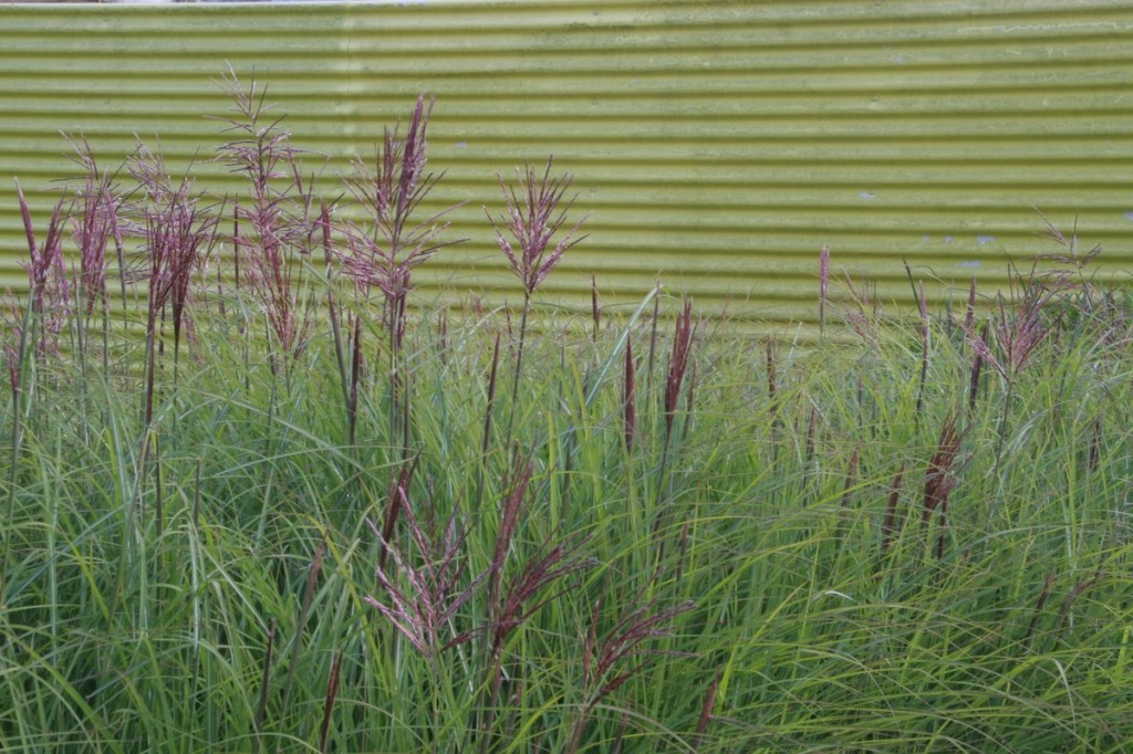 Miscanthus Flamingo at Appeltern