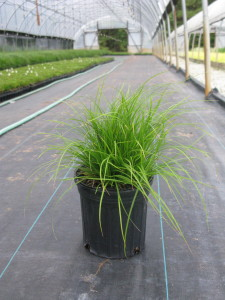 Finished gallon of Carex pensylvanica