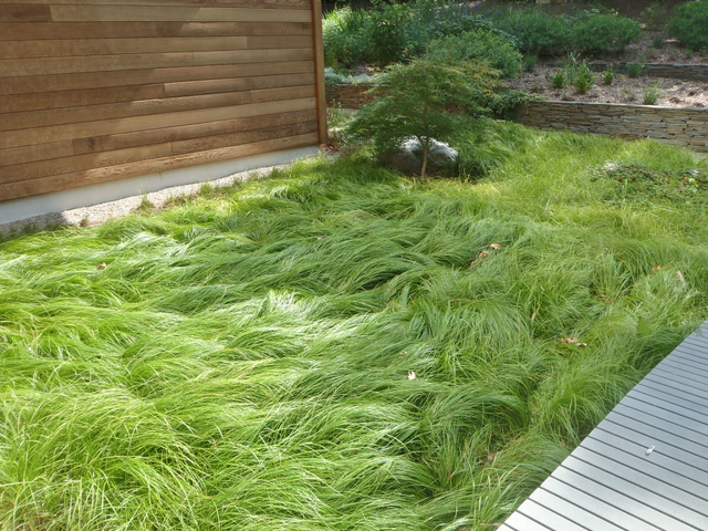 Carex pensylvanica as a lawn alternative