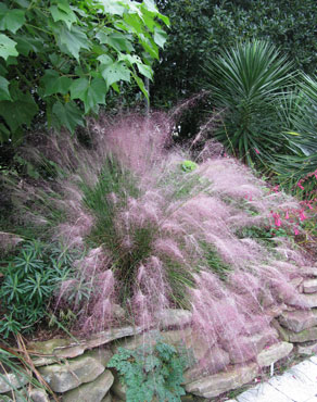 PInk Muhly in the landscape