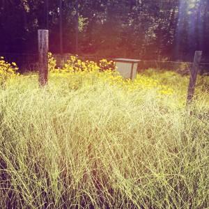 Miscanthus 'Morning Light' on Instagram