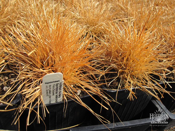 Dormant liners of Prairie Dropseed