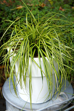 Carex oshimensis 'Eversheen' PPAF