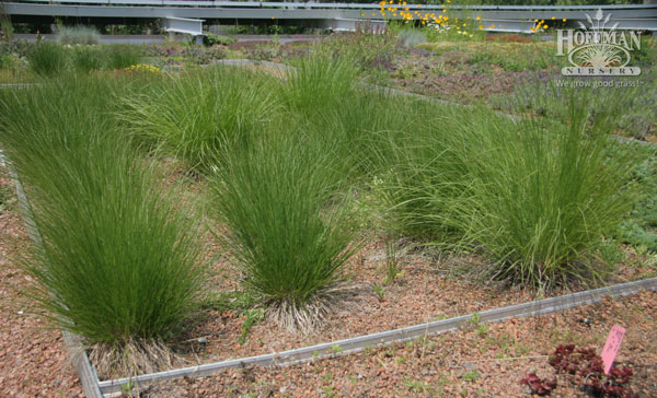 Grasses under evaluation