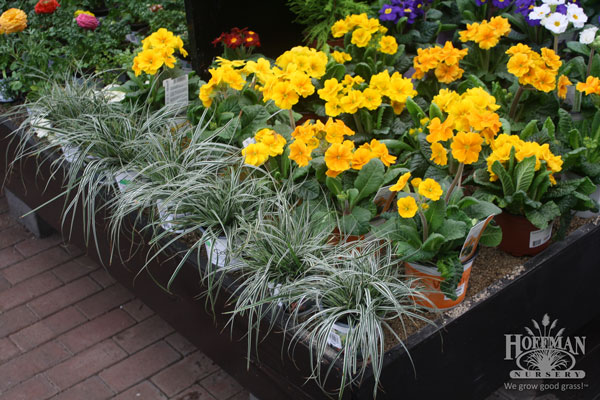 EverColor sedges at garden center.