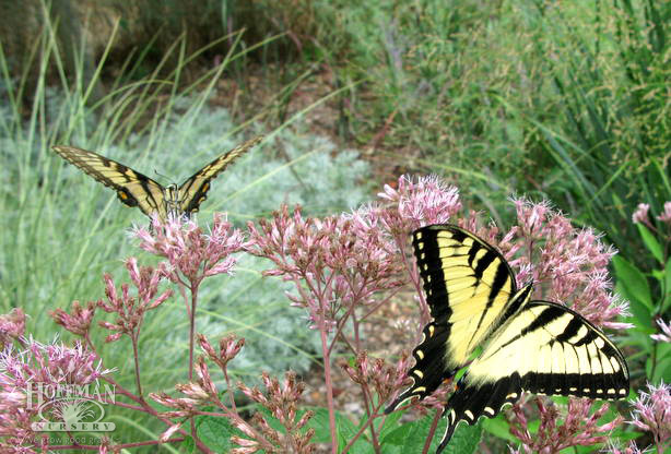 Eupatorium, grasses, butterfly at Hoffman Nursery.