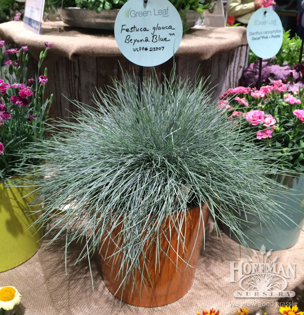 We spotted Beyond Blue Fescue at the Greenleaf booth. It's one of our new offerings this year, so we loved seeing it in their display.