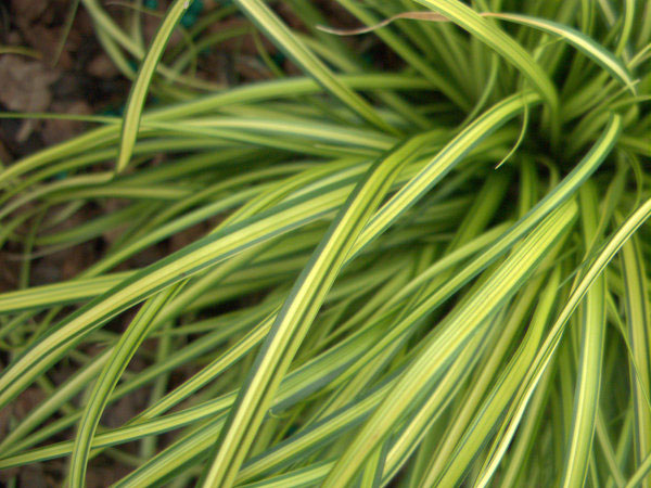 Carex oshimensis EverColor® 'Eversheen'