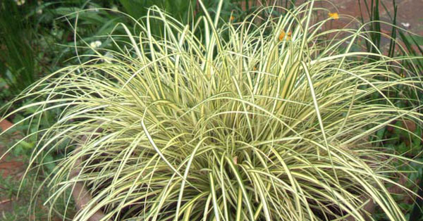 Carex oshimensis EverColor® 'Everoro'