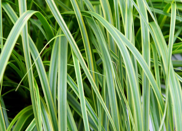 Carex oshimensis EverColor® 'Everlime'