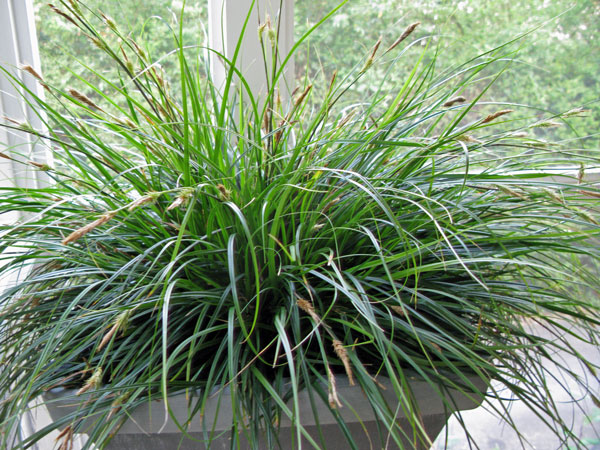 Carex oshimensis EverColor® 'Everdi'